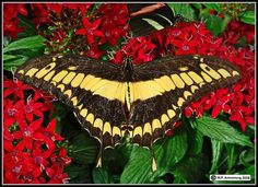 Balboa Park San Diego Butterfly | ... by Irene Niehorster on Insects, Bugs…