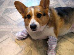 corgi likes socks