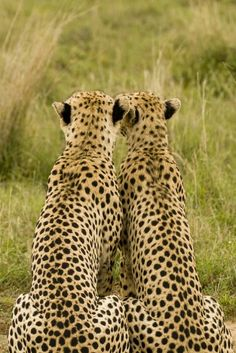 Гепарды спиной
