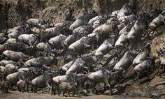 GRAN MIGRACIÓN EN KENIA Cada año, cientos de miles de ñus, cebras y otros animales migran del Parque Nacional del Serengueti, en Tanzania, al Masai Mara, en Kenia, en un éxodo incluido entre las siete maravillas naturales del mundo. (Stuart Price / EFE)