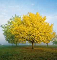 When I was growing up, we had a Ginko tree in our front yard. Trees And Shrubs, Flowering Trees, Trees To Plant, Mellow Yellow, Bright Yellow, Yellow Tree, Acacia Dealbata, Ginko Tree, Maidenhair Tree