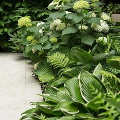 That Thrive In The Shade — Garden Valley Perennials That Thrive In The Shade — Garden Valley Market Asarum fern Hakonechloa and cough. shadow boundary / Beautiful Shade Garden Design Ideas 08 – Home and Apartment Ideas Variegated iris and ferns Shade Garden Plants, Shaded Garden, Green Plants, Woodland Garden, Tropical Garden, Green Garden, Garden Borders, White Gardens, Garden Planning