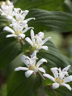 Easy-to-grow toad lily is ideal for shade gardens. More of the best perennials for shade: http://www.bhg.com/gardening/flowers/perennials/the-best-perennials-for-shade/?socsrc=bhgpin051113toadlily=2
