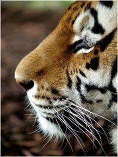 ~cute profile of a Tiger. I wish it had the credations of the photographer :\