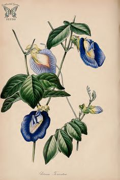 Butterfly Pea. Clitoria ternatea. (Paxton's) Magazine of Botany and Register Vol. 7 (1840)