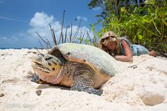 checking the clutch of a nesting #hawksbill #turtle in #Seychelles http://cousinisland.net/news/item/turtle-season-commences
