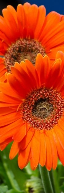 Gerber daisies: these were our wedding flowers in several bright colors