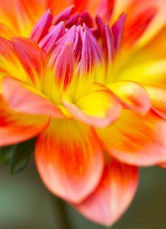 Neon dahlia close-up