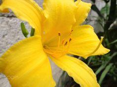 Yellow flower. / Flor amarela. - Yellow flower. ------------- Flor amarela.