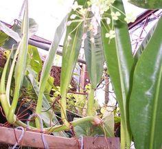 Philodendron crassinervium 1