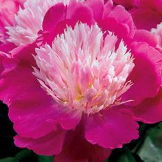 Buy Party Time Peony at Michigan Bulb