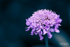 In Nature - Scabiosa - 12 May - 365 Photos - 365Gallery - Capture Your 365