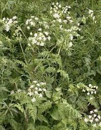Google Image Result for http://www.gardenorganic.org.uk/assets/organicweeds/cow%20parsley.jpg