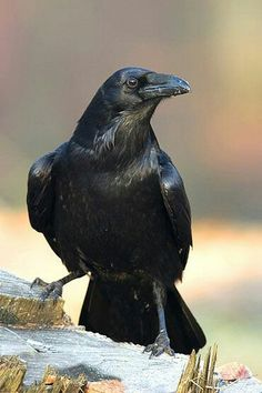 "The Notorious Raven God Bran, the Unholy Lord of Life and Death, has been the blight of the Empire of Ay for over 19 years. But in he comes up against another ""raven"", a superior one. Raven And Wolf, Raven Bird, Crow Bird, Beautiful Birds, Animals Beautiful, State Birds, Jackdaw, Crows Ravens, Tier Fotos"