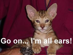 Big Eared Siamese Cat