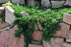 Juniperus horyzontalis Wiltonii