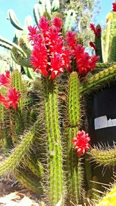 Blooming Cactus @ Serra Gardens Landscape Succulents in Fallbrook