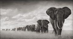Elephants Walking Through Grass, Amboseli 2008. Leading Matriarch Killed by Poachers, 2009 © Nick Brandt