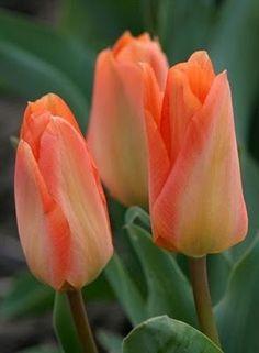 Orange Emperor / Clasificare Lalele (inflorire)  -- by Despre Gradina