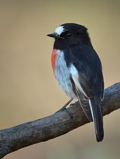 Scarlet Robin is found on continental Australia and its offshore islands, including Tasmania.