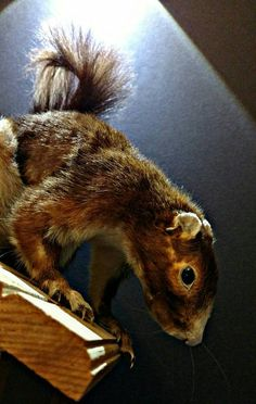Check out this item in my Etsy shop https://www.etsy.com/listing/527041721/vintage-taxidermy-large-squirrel-mounted