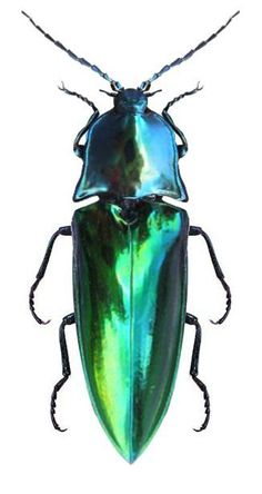 Campsosternus mirabilis I have a pair of earrings made from the elytra (wing cases) of this species. Beetle Insect, Beetle Bug, Insect Art, Cool Insects, Bugs And Insects, Insect Photos, Cool Bugs, Beautiful Bugs, Beautiful Creatures