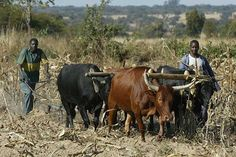 Zimbabwean farmers: Oh, what lovely memories of Umsinga, Moolman and Swaziland. Comparative Politics, Cattle Farming, African Men, Zimbabwe, Farmers, South Africa, Birth, Cow, History