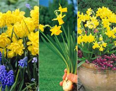 'Tête-à-tête' is the best known dwarf multi-headed daffodil. At a mere high it is perfect for small gardens and for growing in patio co. Garden Shop, Firecracker, Small Gardens, Daffodils, Garden Inspiration, Dwarf, Plants, Wedding, Patio