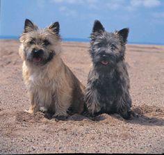 Cairn Terrier #cairnterrier #dog