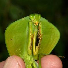 Shield Mantis, Choeradodis rhomboidea