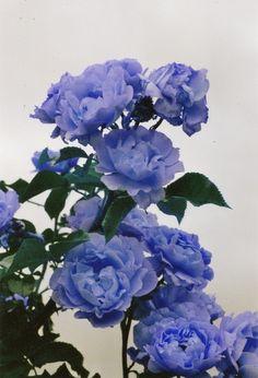 Periwinkle rose #ghdpastels
