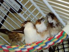 Crested Society Finches  Bengalese Finches for sale. 10.00 & 15.00 each.