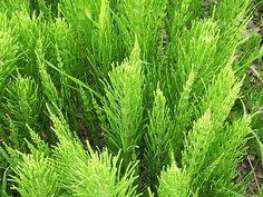 Horsetail (Equisetum arvense) - magic for your hair. http://amzn.to/ycI9UZ