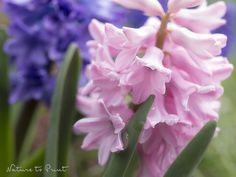 Hyazinthen – giftige Schönheiten in Pastell