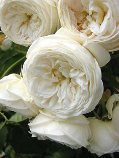 White Old Fashioned Roses