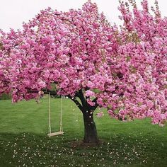 pink, tree, and flowers image Beautiful Landscapes, Beautiful Gardens, Beautiful Flowers, Beautiful Places, Cherry Blossom Tree, Blossom Trees, Colorful Trees, Spring Blossom, Flowering Trees