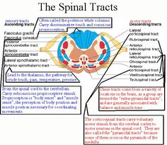 Spinal tracts