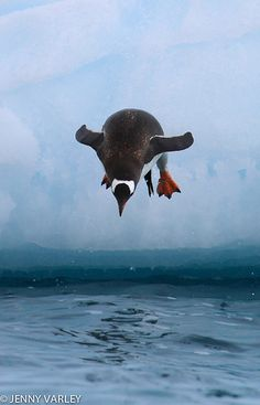 Gentoo Penguin dive  [per previous pinner]