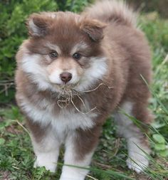 Dog Breeds List That Look Like Wolves (Wolf Dogs) - Animal Home Garden Animals And Pets, Baby Animals, Funny Animals, Cute Animals, Dog Breeds List, Large Dog Breeds, Cute Puppies, Cute Dogs, Dogs And Puppies