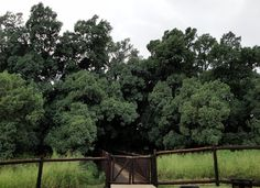 The large Wonderboom fig tree (Pretoria) at the Wonderboom Nature Reserve is more than 1 000 years old, and legend has it that it grew this big because the chief of an indigenous tribe lies buried beneath its roots. Indigenous Tribes, Pretoria, Fig Tree, Nature Reserve, Bury, Botany, South Africa, Roots, Scenery