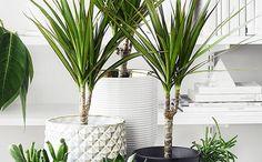 Traakkipuut - helppohoitoinen kasvi