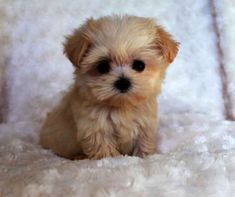 Teacup puppies are cute small as well as adorable and this why most dog lovers prefer Teacup dogs as a companion animal pet. Teacups are a breed of small ...