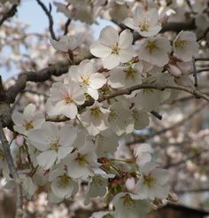 Cherry Blossoms II:  Spring, 2013