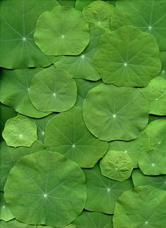 Can't wait for my nasturtiums to get big and bushy, they remind me of lily pads! World Of Color, Color Of Life, Go Green, Green Colors, Green Art, Palette Verte, Terra Verde, Patterns In Nature, Belle Photo
