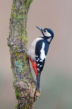 Great spotted woodpecker decked out in red, white and blue!  Very cool.