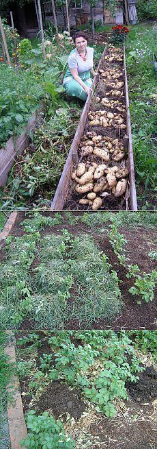 повышаем урожайность картошки