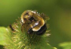 Trump delays listing bumblebee as an endangered species : TreeHugger