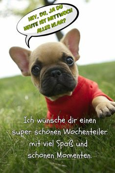 French Bulldog Puppies, Happy Friday, Dogs, Cute, Animals, Dapper, Good Morning Images, Funny Sayings, Good Night
