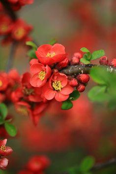 Isla---    flowering quince