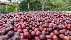 We're bringing you #farmtocup coffee: Costa Rica (Tarrazu El Pilon)
